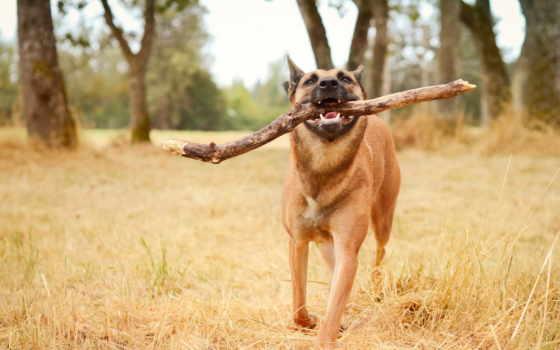 собака, счастливая, зубах, палкой, собаку,