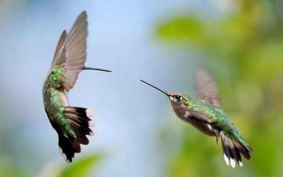 колибри, hummingbirds, images, фон, free,