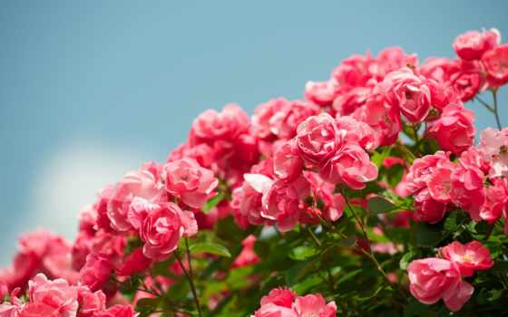 роза, цветов, ipad, queen, цветы, preview, мини,
