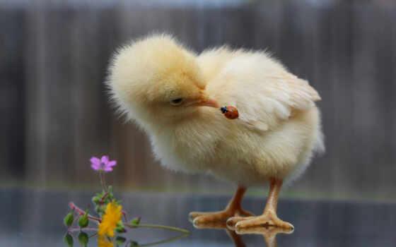 god, курица, коровка, интерес, cvety, малыш, goodfon