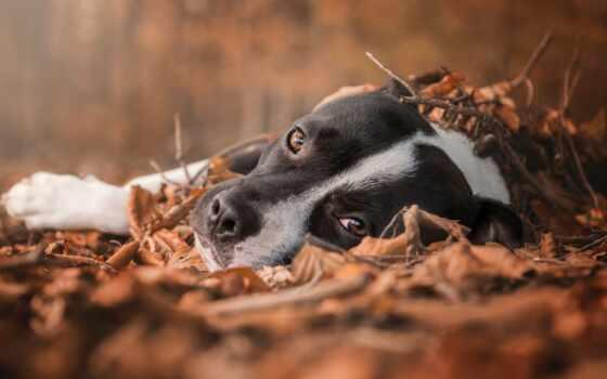 pitbull, собака, bull, осень, листва, animal, взгляд, narrow, бультерьер, хороший