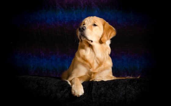собака, retriever, золотистый, cover, гвардия, animal