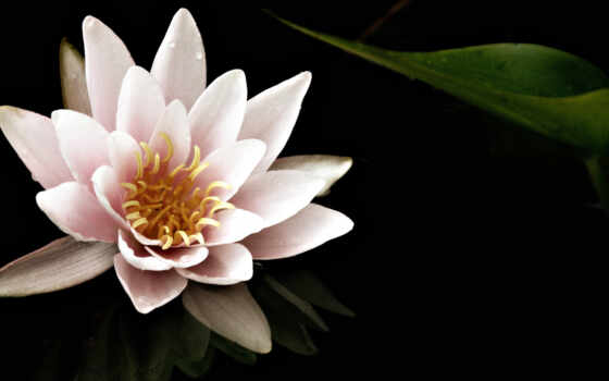 ,lily, water, wallpaper,, pond, wallpapers, hd,