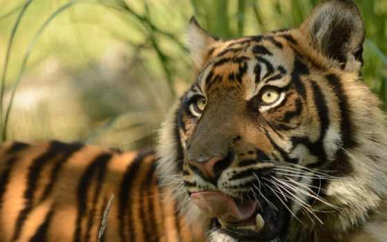 тигр, суматранский Фон № 19421 разрешение 1920x1200