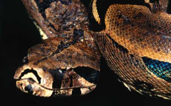 snake, фото, boa