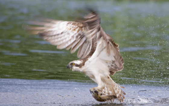 falcon, prey, сокола, рыбу, сокол, соколы, resolution, тона, схватил, full,