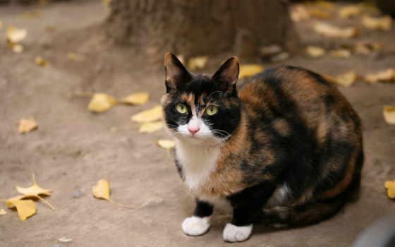 кот, кошки, осень, черная, сидит, смотрит, рыжая, everything, пятнистый, породы, листья,