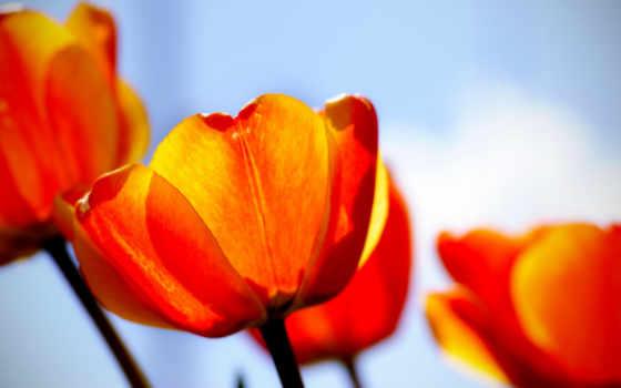 цветы, тюльпаны, лепестки, яркие, подсолнухи, samsung, дек, роза, мар,
