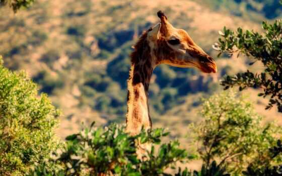 color, жираф, animal, палитра, животные, африка, тема, giraffidan