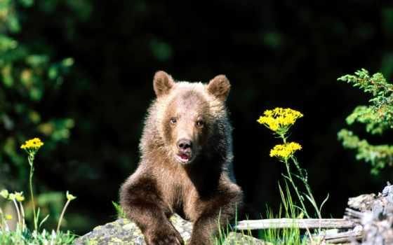 медведи, медведь, цветы