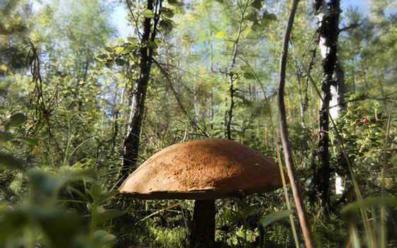 шляпа, mushroom, заросли