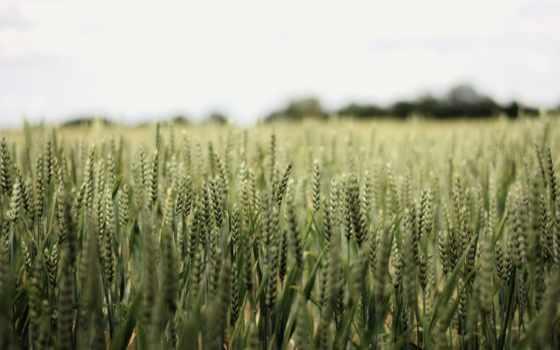 elevation, колосья, this, cheap, страница, print, портреты, пшеницы, поле,
