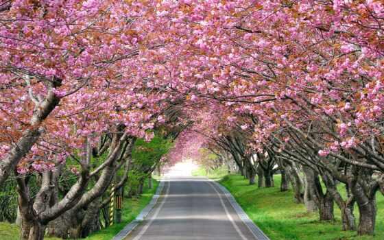 цветущая, Сакура, тонизирующее, cherry, оказывает, дорога, изображение, усталость, impact, трек, снимает,