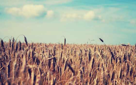 пшеница, поле, природа, summer, колосья, небо,