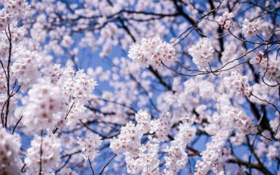 garden, плэйкаст, cherry, masri, чехов, праздником, ellene, весна, когда, love,