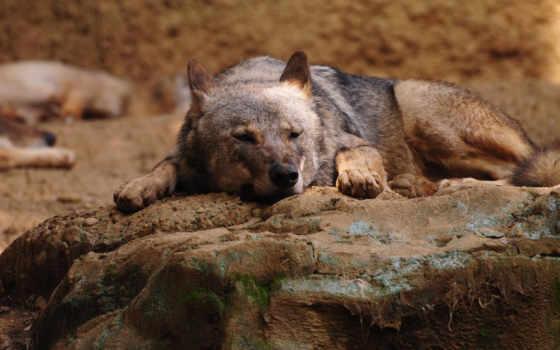 fondos, lobo, lobos, imágenes, durmiendo, con, años, pantalla,