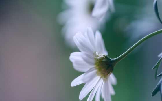 цветы, white, роза, ромашка, лепесток, бутон, пожаловаться, размытость