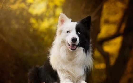 собака, border, колли, порода, fore, группа, animal, осень, black, orman
