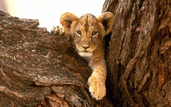 совершенно, lion, wpapers, дереве, львенком, львенок,