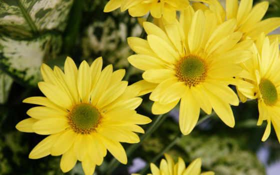 flores, amarillas, fondos