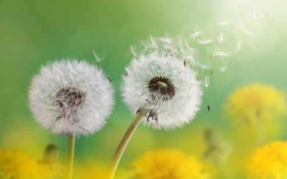одуванчик, цветы, blowing, free, удар, мяч, далеко, природа, одуванчики,