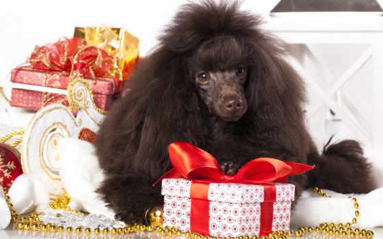 пудель, собаки, black, год, zhivotnye, new, time, лежит, той, бесплатные, чудес,