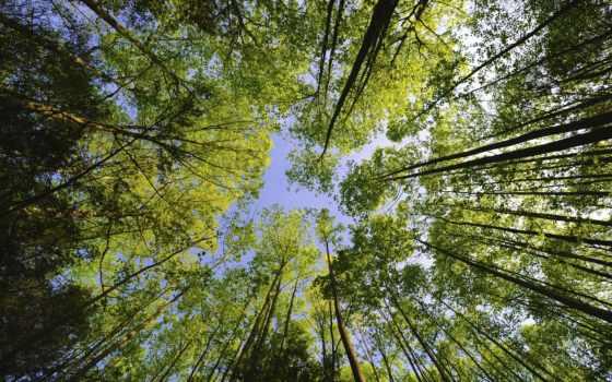 деревьев, кроны, дерева, trees, может, лес, потолка, ukraine, верхушки,