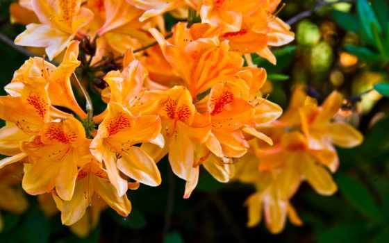 flowers, android, цветы, оранжевый, фотообои, природа, свет, free,