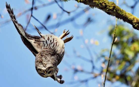 сова, падает, branch