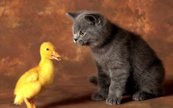 кот, котенок, утенок, друзья, кошки, pair, жёлтыми, утки, черная,