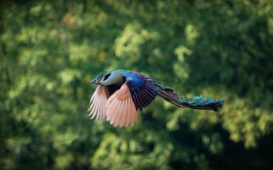 peacock, полете, птица, sur, idées, pavo, flying, real, volando, fly,