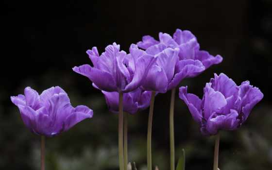 ay, тюльпан, bir, ver, azizim, cvety, кб, kalışları,