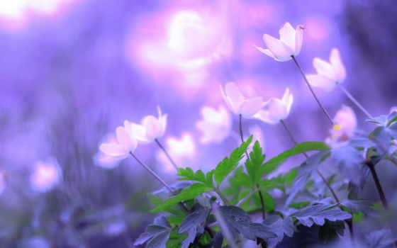 cvety, планом, крупным, сиреневые, природа, цветы, разных, white, качественные, большие,