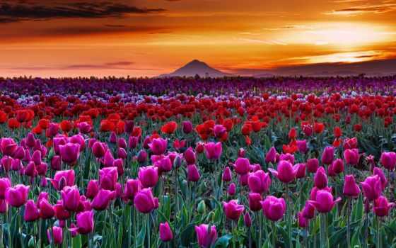 тюльпаны, oregon, весна, северная, нидерланды,