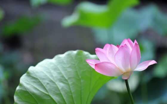 цветы, природа, lotus, лепесток, розовый, песочница, cvety, bloom, лист