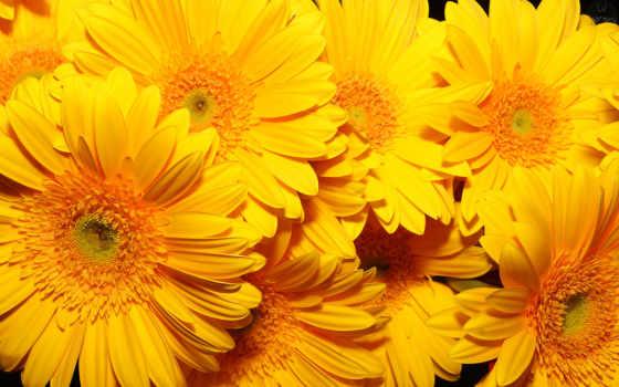 цветы, желтые, подсолнухи