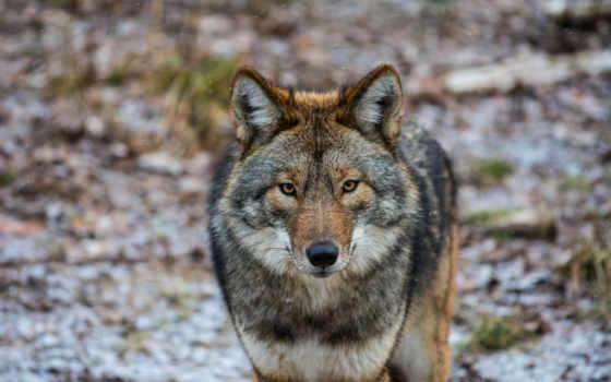 волки, zhivotnye, шакалы, картинка, hunting, койоты, взгляд, season, крае, за, coyote,