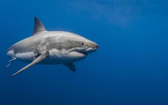 подборка, картинок, акулы
