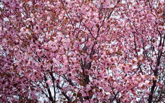 cherry, blossoms, лепестки, desktop, free, цветы, фон, wallpapersafari, hdflowerwallpap,