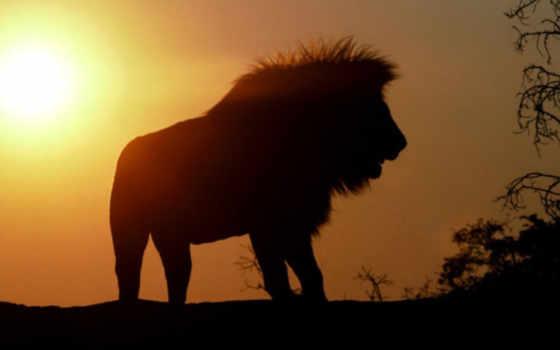 силуэт, pinterest, african, lion, льва, lions, silhouettes,