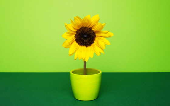 gullar, цветы, подсолнух, гуль, tashkent, лола, user