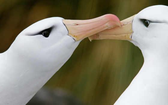 янв, geographic, national, дымчатые, albatros, альбатросы, никлен, paul, георгия, светлоспинные, южная,