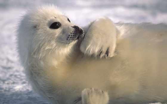 морские, zhivotnye, тюлень