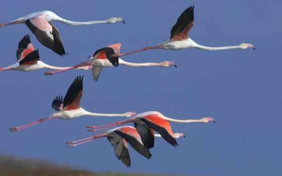 фламинго, полет