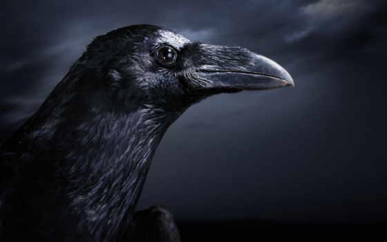 ворон, black