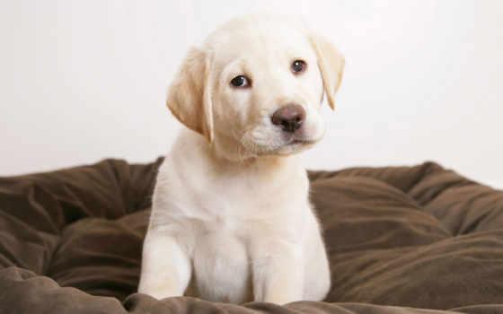 собаки, labrador, лабрадора, щенок, retriever, ретривера, щенка, собака,