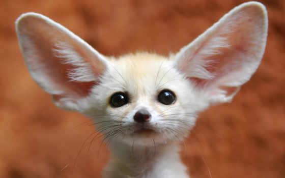 большими, ушами, zhivotnye