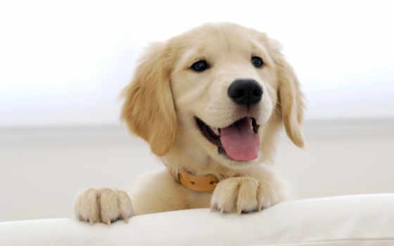 собака, лабрадор