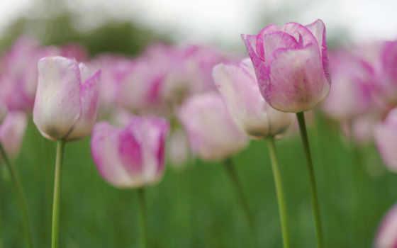 тюльпаны, цветы, бутоны