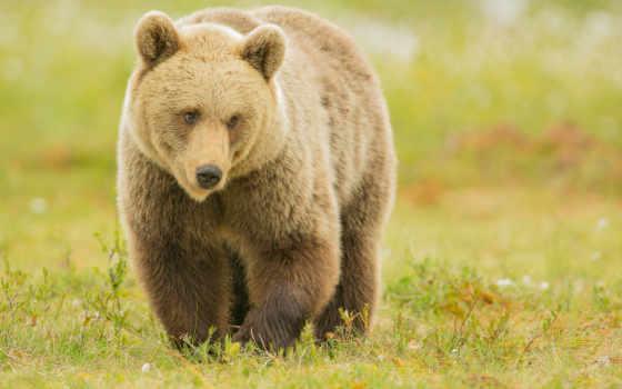 медведь, zhivotnye, animals,